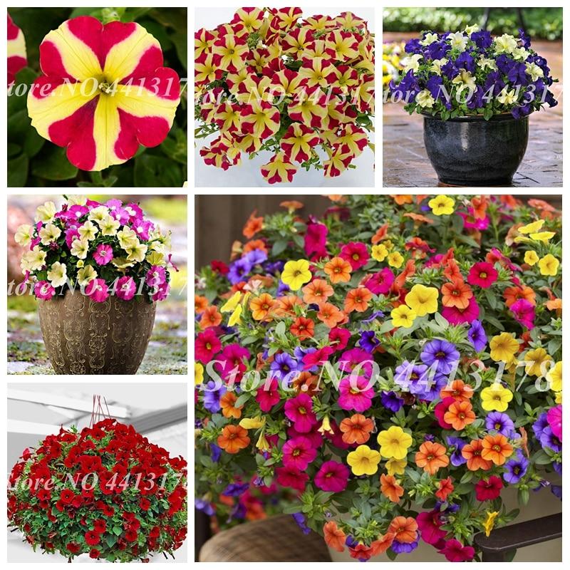 200 Pcs Bonsai Hanging Petunia Garden Petunia Mixed Color Potted Perennial Flower Planta Diy Home Garden Morning Glory Plants