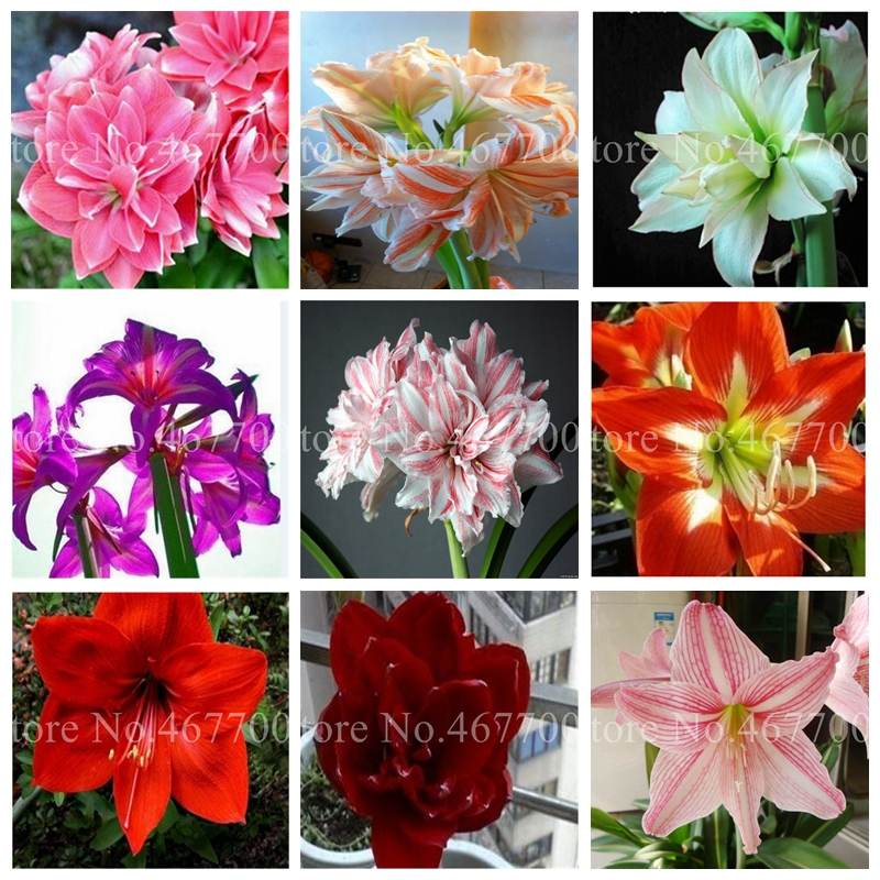 300 Pcs Exotic Amaryllis Bonsai Cheap Chinese Flower Plant Barbados Lily Potted Plants Balcony Flore For Home Garden Planting