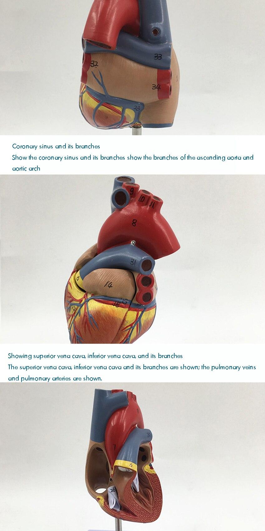 1: 1 modelo de coração humano, modelo