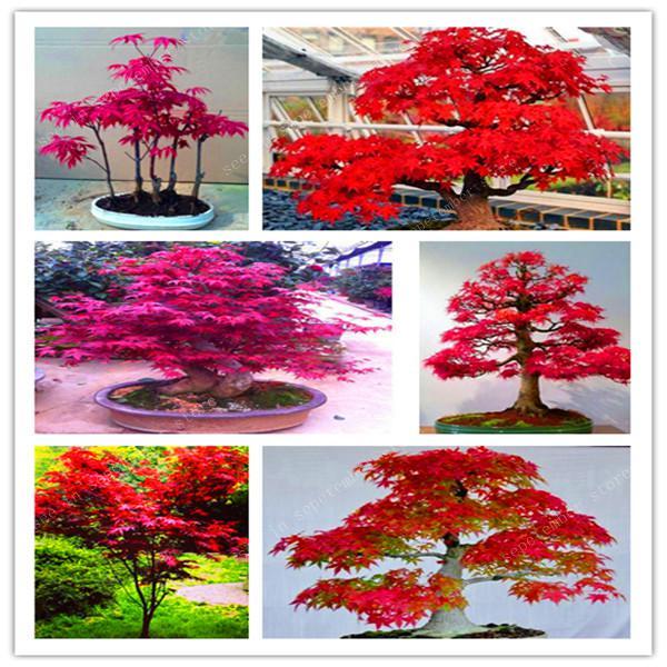 100% True U.S.A Red Maple Tree America Bonsai 200pcs Plants Very Beautiful Indoor Tree Home Garden Decortion