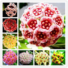 100 PCS Mixed Color Available Rare Ball Orchid Flower bonsai Perennial Garden Plant Hoya Carnosa Flower plant Free Shipping(China)