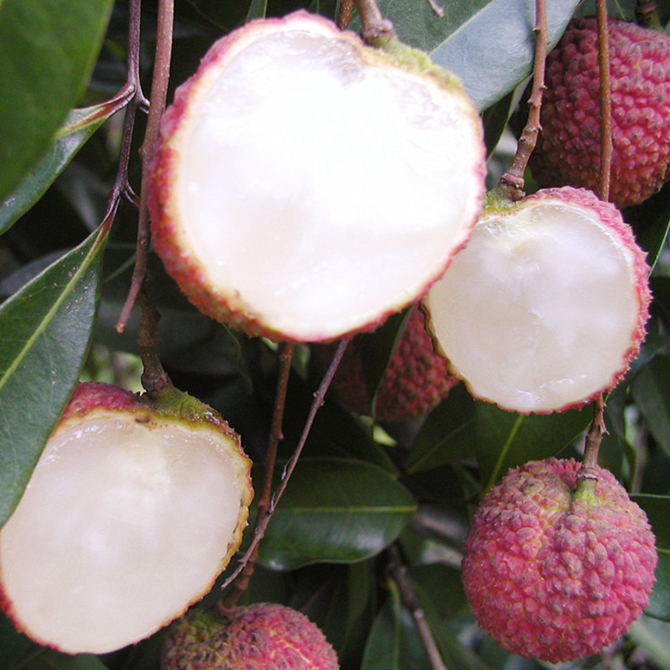 Hainan Seedless Litchi A4 Seedless Litchi Fruit Seedlings Grafted Seedlings Bear Fruit in Current Year Guangxi Lingshan Litchi S