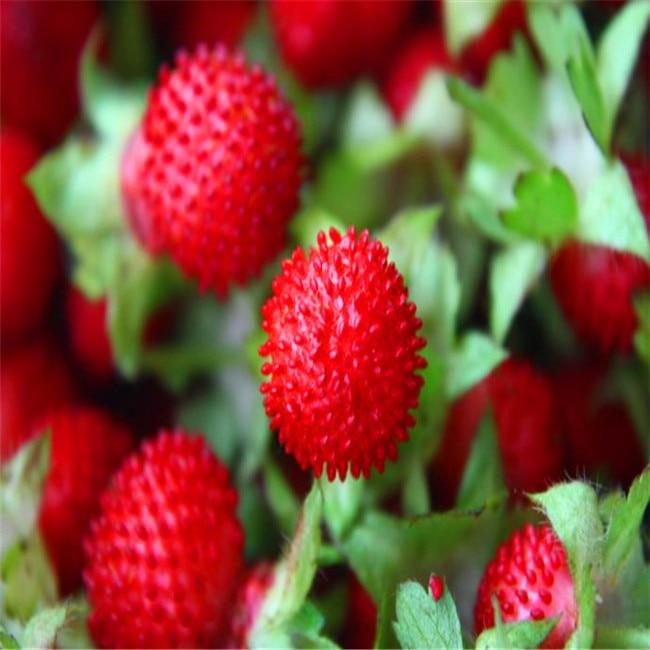 600 Pcs Rare Indian Strawberry Tree  Indoor Outdoor Garden Heirloom Fruit