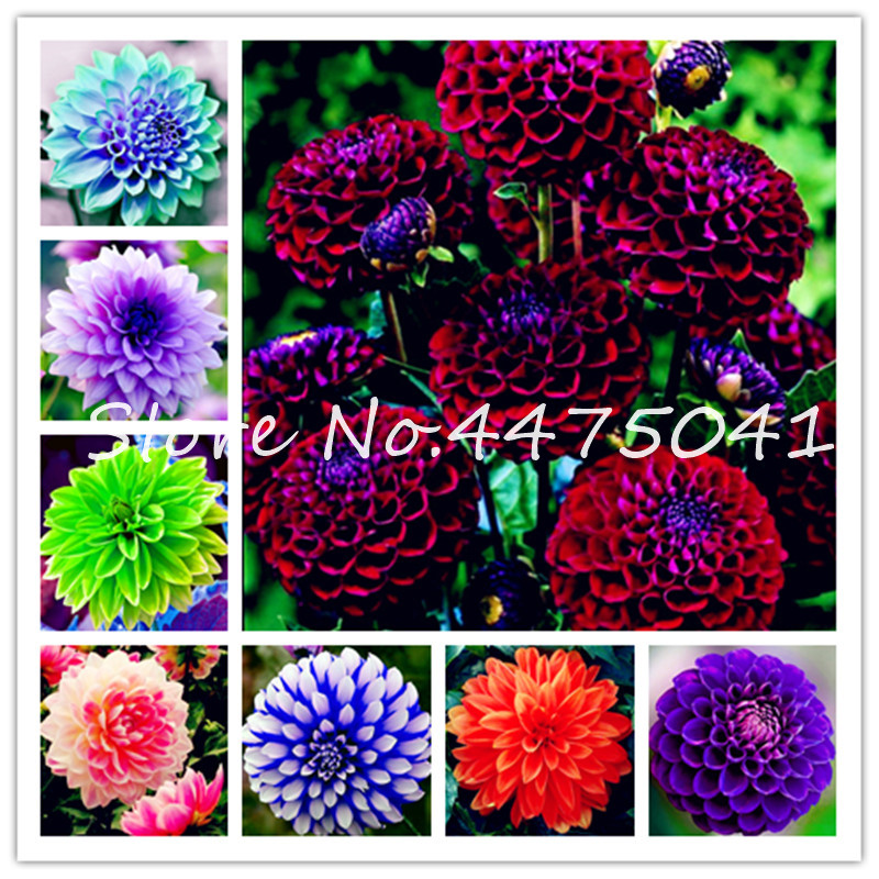 Hot 100 Pcs/Bag Rainbow Dahlia Bonsai, Heirloom Chinese Dahlia Bonsai Flower, High Germination Plant For Home & Garden Diy