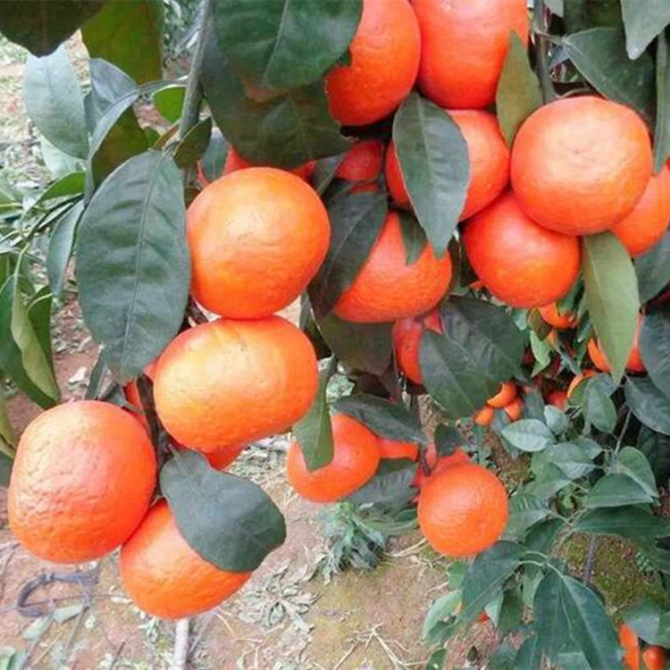 Nursery Direct Selling Excellent Citrus Fertile Citrus Fruit Tree Seedlings Grafting Guomiao Bear Fruit in Current Year Orange N