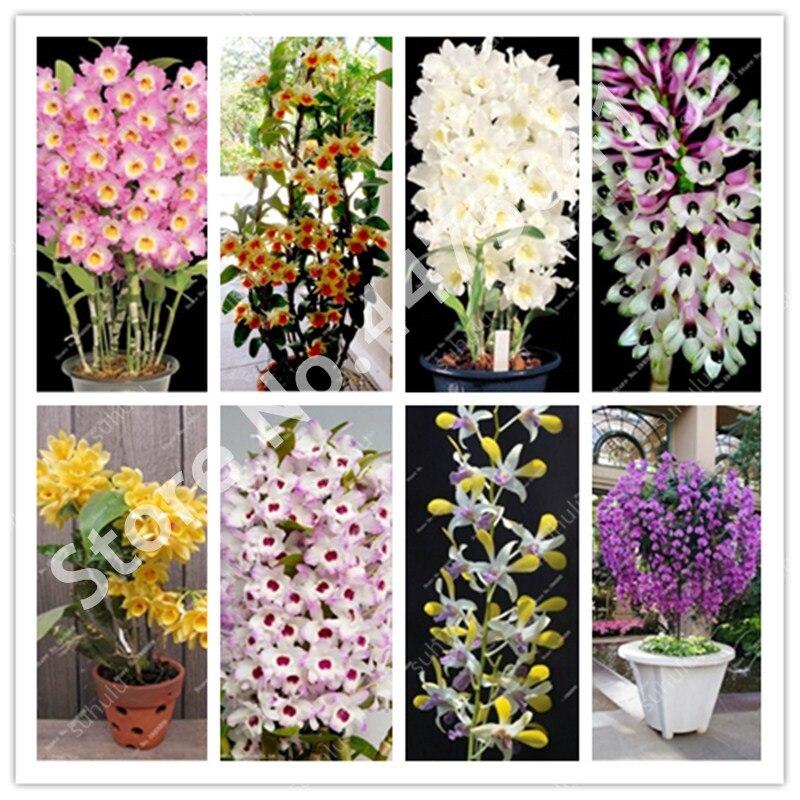 Promotion!! 100 Pcs Dwarf Dendrobium Bonsai, Potted Plant Flower In Bonsai Rare Orchid Plants For Home Garden,Budding Rate 97%