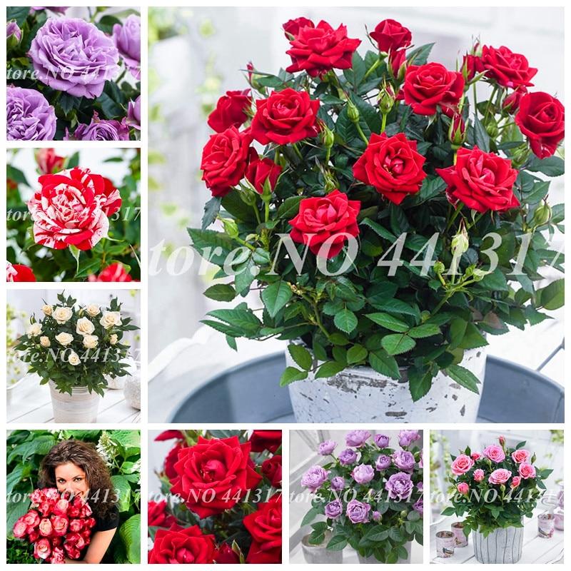 300 шт./пакет Великолепная Роза Indoor ароматный очаровательный английский цветок розы Сад завод для дома бонсай горшках De Flore