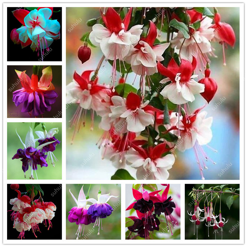 Big Promotion! 100 Pcs Mixed Color Fuchsia Flower Plant Mini Bonsai Fuchsia Plantas Bonsai Garden Balcony Lanterns Flowers