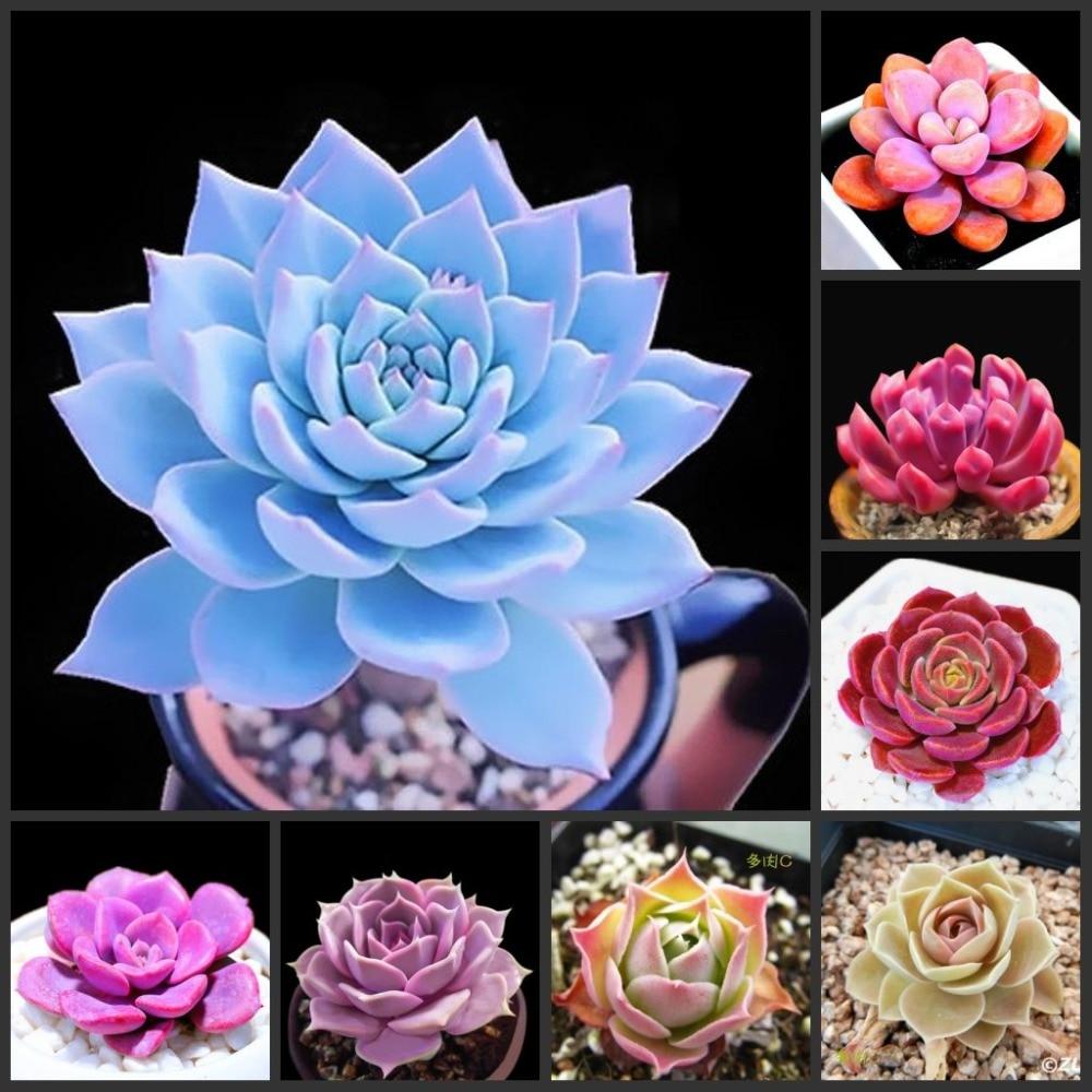 50pcs  Echeveria - (Ni-shi-lian) - Flower SS