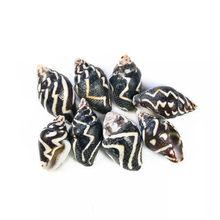 Conchas de conchas de cebra Natural, Mini Concha a rayas, paisaje para acuario, accesorios de decoración, botella de deriva, 20 Uds.