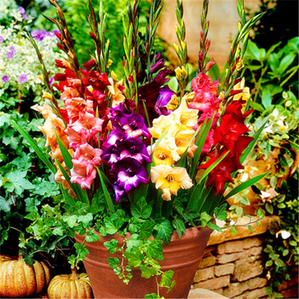 200Pcs Home Garden Bonsai Gladiolus Flower, Bonsai Flower Plant, (Not Gladiolus Bulbs),Perennial Potted Plant Sementes De Flores