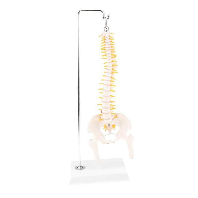 45 ซม.spinal column มนุษย์โครงกระดูกแนวตั้งกระดูกสันหลังรุ่น Pelvis ทางการแพทย์มนุษย์กายวิภาคศาสตร์กายวิภาคศาสตร์ Skeleton
