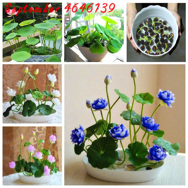 Big Promotion At A LossGenuine!5pcs Water Lilies Bonsai Flower Lotus Flower For Summer 100% Real Bowl Lotus Pots Bonsai Garden