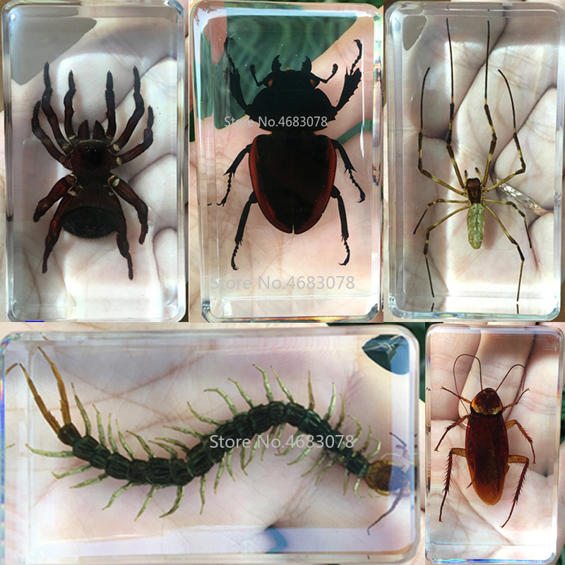 Insect Specimen Resin Paperweight Biology Anatomy Education Teaching Tool Educational Toy Cricket