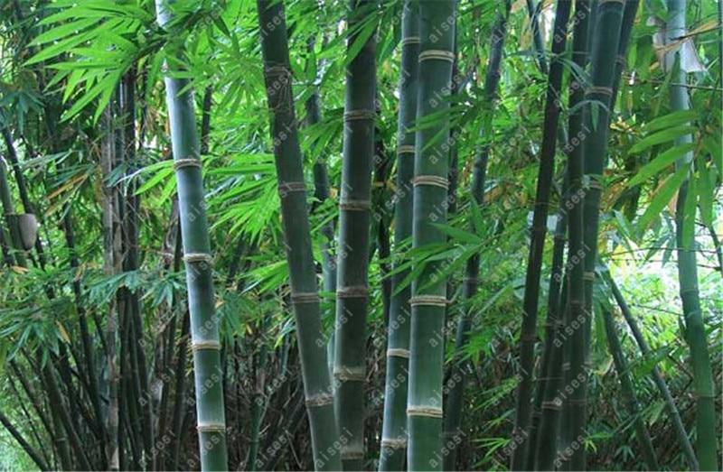 Pot For  Bamboo Bonsais Bambu 40