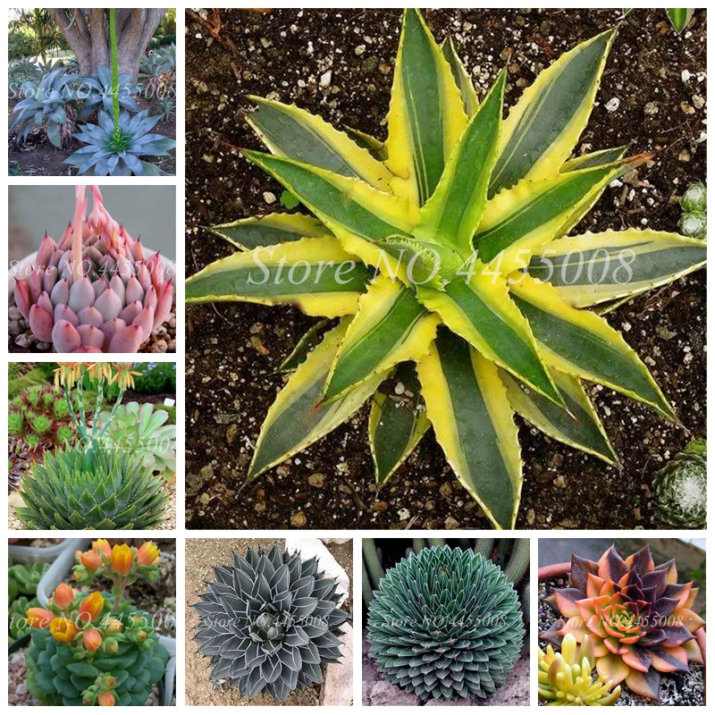 100 Pcs Mixed Aloe Cacti Agave Bonsai Rare Succulent Plants Agave-Americana Potted Agave Plants For Home & Garden Decor
