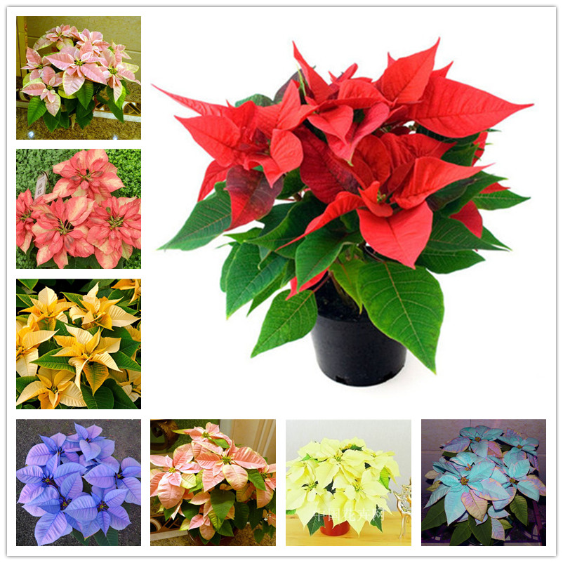 100 Pcs / Bag Imported Poinsettia DIY Potted Colorful Flower Indoor & Outdoor Flore Home Garden Decor For Flower Pot Planters