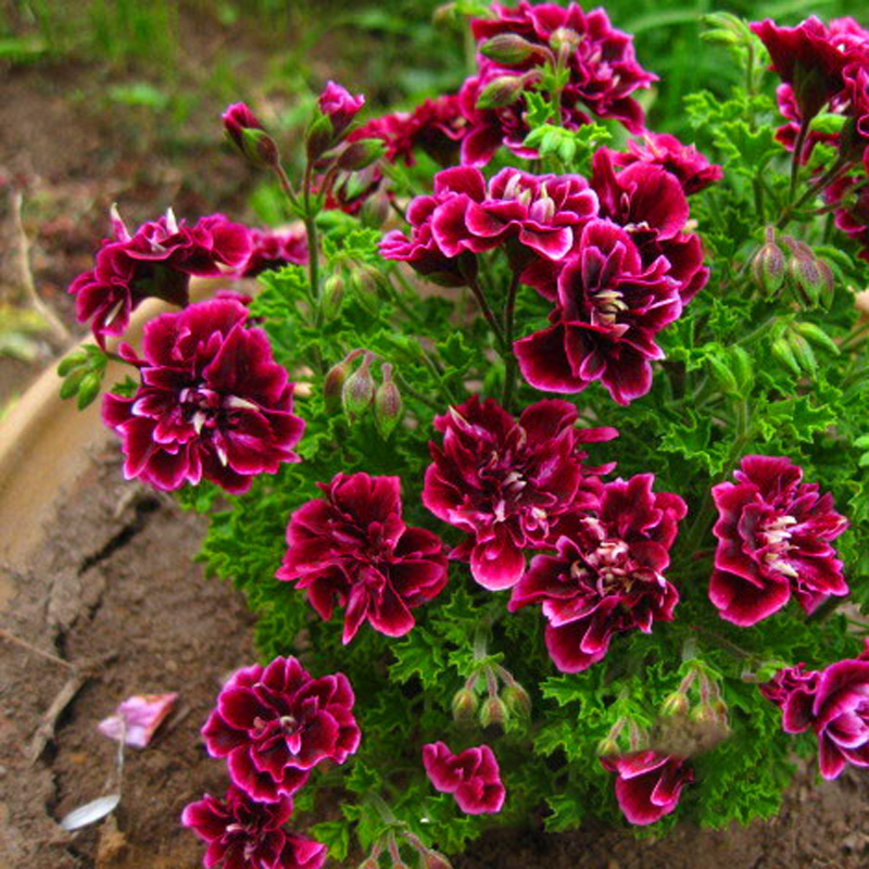 20PCS Crimson Petal Geranium  Of Perennial Flowers  Shield Leaf Geranium Flower