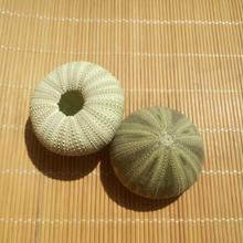 Natural conch shell green sea urchin window design decoration DIY wall sticker wedding  gift starfish