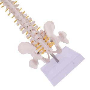 Image 4 - 45cm Leben Größe Wirbelsäule Menschlichen Wirbelsäule Anatomischen anatomie Modell Skeleton instrument Medizinische liefert werkzeuge