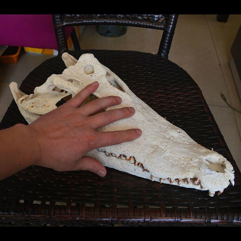 1 pces genuíno crocodylus siamensis siamese crocodilo crânio taxidermia 20-40 cm comprimento animal crânio espécime