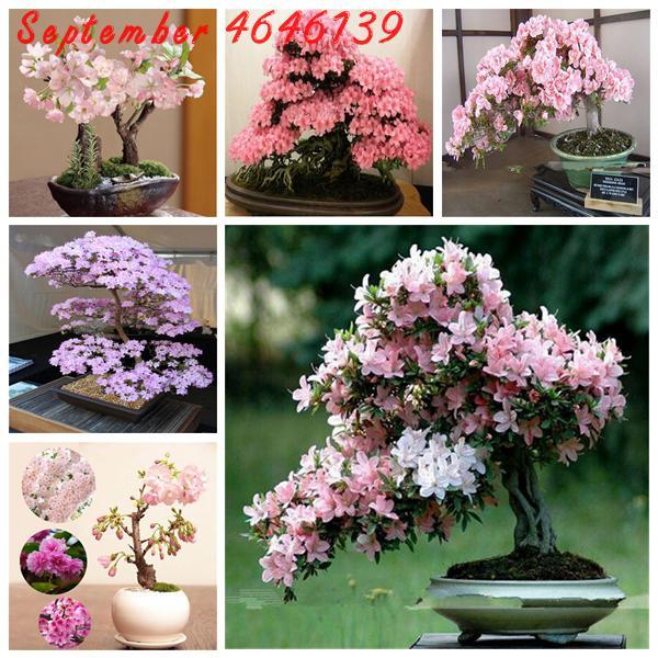 10Pcs Multi Color Cherry Blossoms Bonsai Japanese Bonsai Sakura Blossoms Beautiful Perennial Cherry Tree Sakura Potted Plants