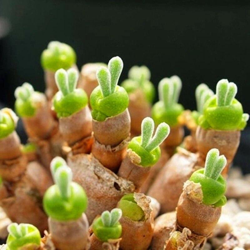 Plant Bath Salts Little Rabbit Stone Flower Essence 100Pcs XZZ-156