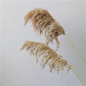 Image 3 - 20 pcs Natural Dried Pampas Grass Phragmites Communis,Wedding Flower Bunch 50 55 cm Tall for Home Decor Rated dried flowers