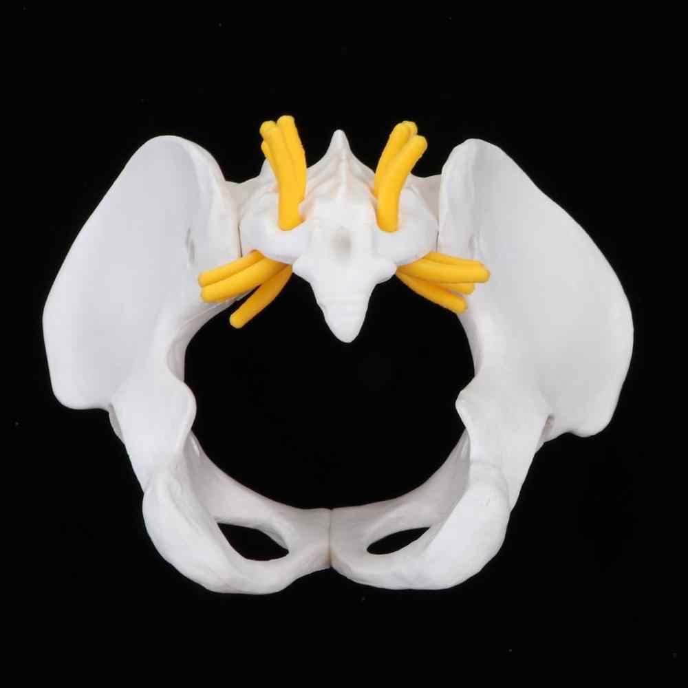 Piccolo Mini femminile anatomico bacino modalità lhuman anatomico di scheletro modello di anatomia pelvica modello