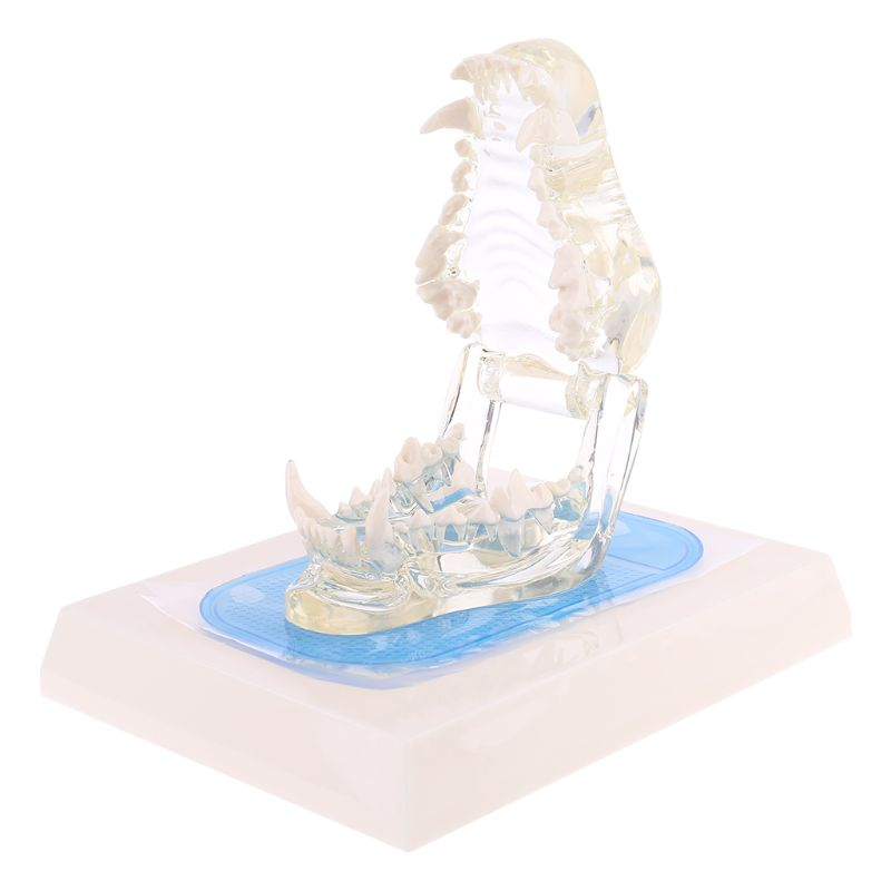 Transparent Dog Teeth Jaw Tooth Model Anatomical Teaching Demonstration Canine