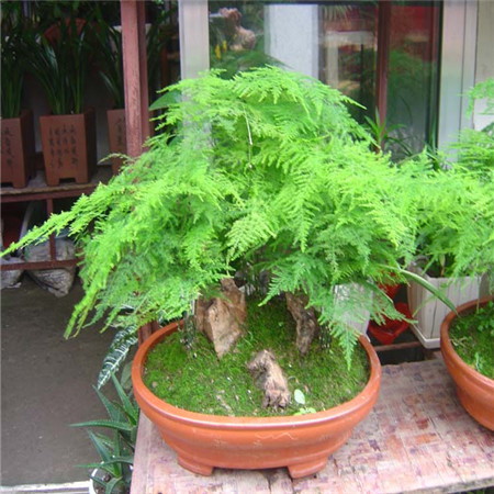 20pcs/bag BONSAI Asparagus Fern Rare Bonsai Lace Fern Perennial Indoor Potted Plants Cloud Pine Plant DIY Home Garden Decoration