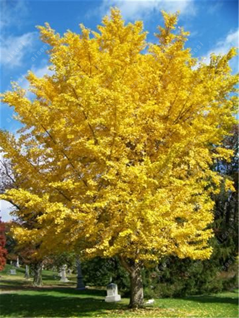Ginkgo Yellow 5