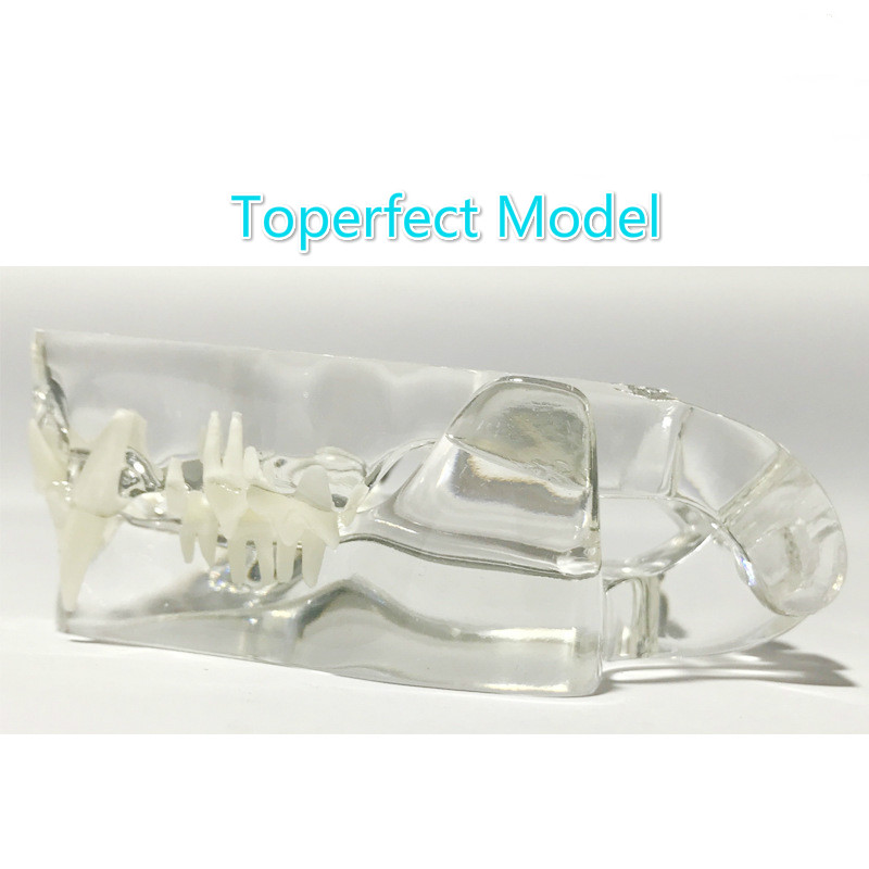 Image 4 - Anatomical Felidae Pathology Jaw Model Medical Cat Mouth and Teeth Anatomy Clear Feline esqueleto anatomia-in Educational Equipment from Office & School Supplies
