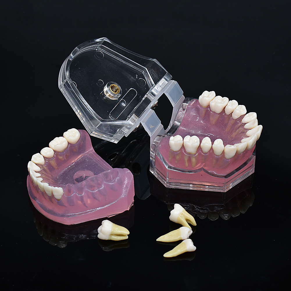 Dental Dentist Soft Foundation Allow Pluck Pull  Suck Out Pull Up  Removable Teeth Soft Gum Study Teaching Model ADULT TYPODONT