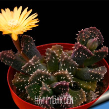 Новое поступление! 10 шт./упак. мяч кактус сад редкий суккулент растения семена бонсай небесные Цветочный Горшок Кашпо Flores