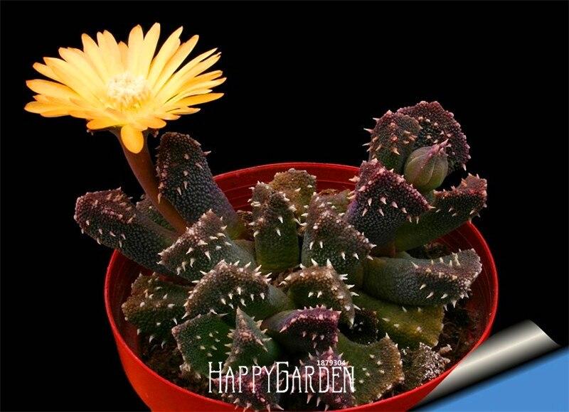 New Arrival!10 Pcs/pack Ball Cactus Garden Rare Succulent Plant Plantas Bonsai Celestial Flower Pot Planters Flores
