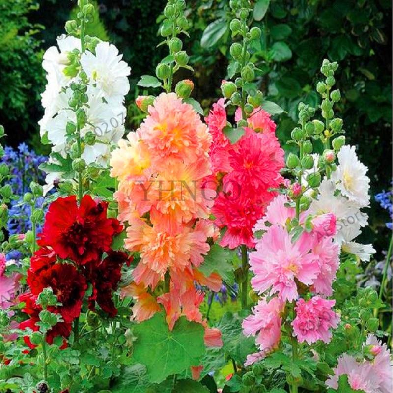 Big Sale!20 Pcs Hollyhock Bonsai (Alcea Rosea 'Nigra') Mixed Color Flower Plants Perennial Plant For Garden Home Beautifying Dec