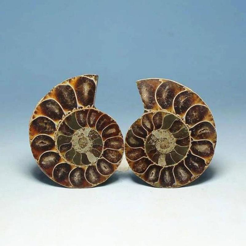 Natural Spotted Snail With Sliced Snail Ammonite Disc Fossil Rough Conch Specimen