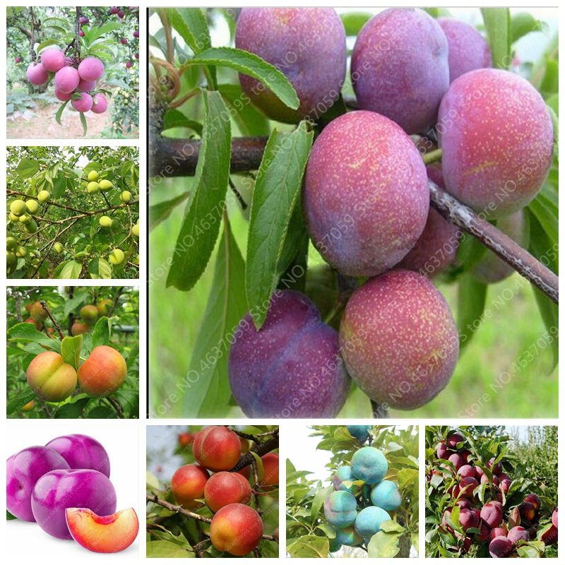 10 Pcs Pink Red Brin Plum Bonsai Organic Sweet Delicious Fruit Tree Vegetables & Fruits Pots Edible Fruit Succulent Planta