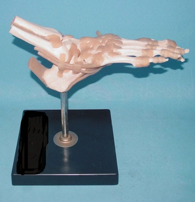1:1 Foot Joint Bone Model Foot Ligament Functional Model Bone. Skeleton Medical Teaching Model Foot Anatomical Model