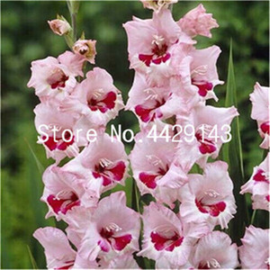 200 Pcs Different Perennial Gladiolus Bonsai Flower Multi-Color Rare Sword Lily plants Very Beautiful For Home Garden