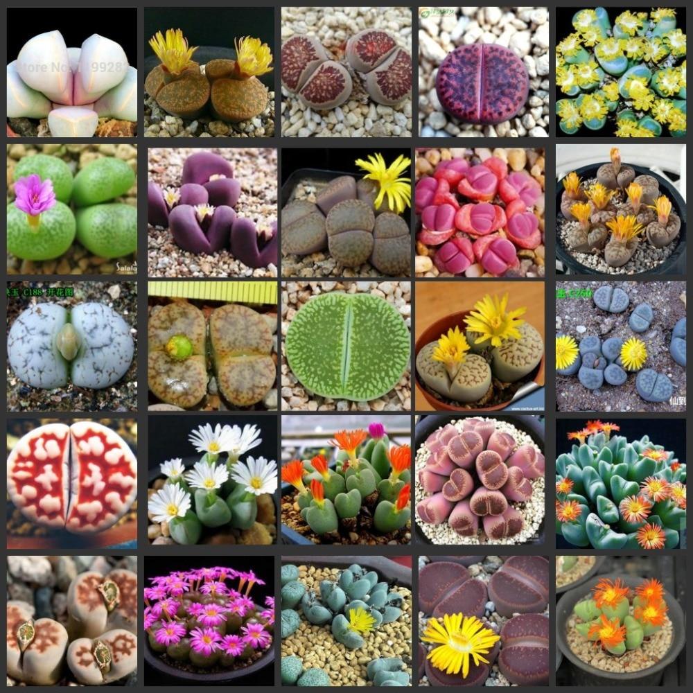 50pcs Fresh Real Succulent Lithops Succulent Cactus ~Living Stones Lithops Pseudotruncatella