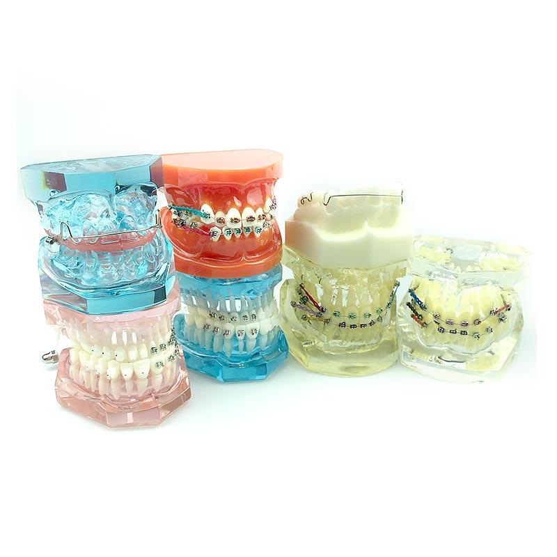 Dental Orthodontic Model Teeth Study Model Medical Science Disease Teaching Study Dental