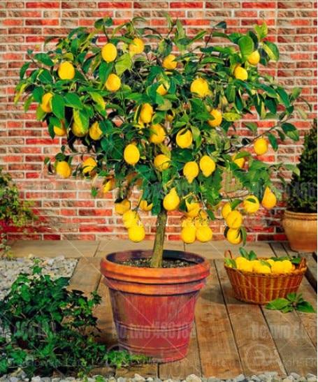 20Pcs Citrus Bonsai Dwarf Mandarin Lemon Bonsai Edible Fruit Tree Pot Plant Room Lime Bonsai Tree Home Garden Planting Plantas