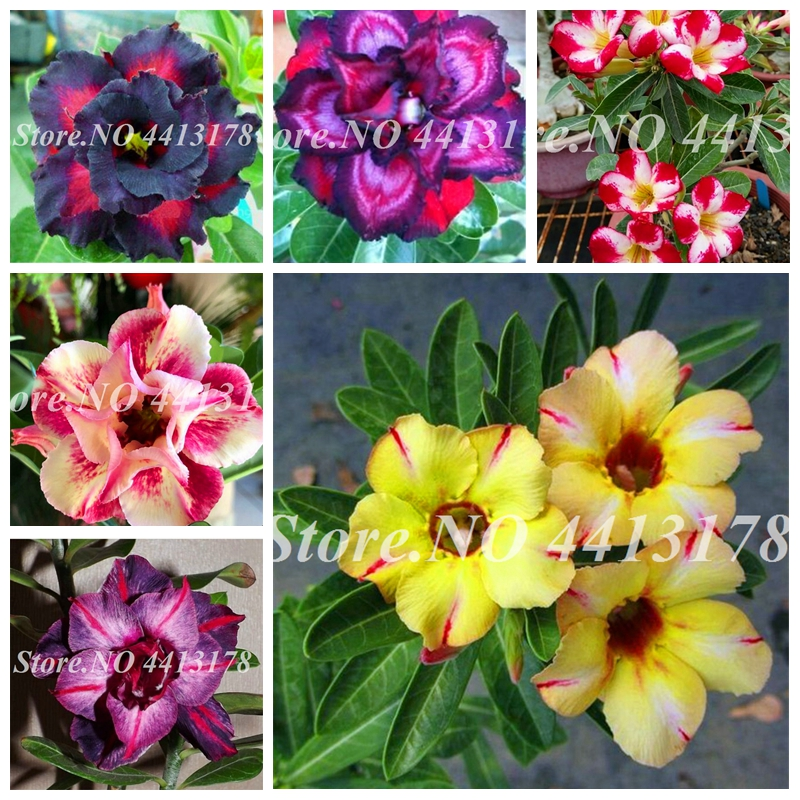 2 Pcs/ Bag Rare Desert Rose Mixed Ornamental Adenium Obesum Bonsai Plant Air Purification For Home Garden Potted Flower Pot