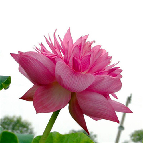 Sale! Beautiful Pink Bowl Lotus Bonsai Hydroponic 5Pcs Plants Aquatic Plants Flower Pot Lotus Water Lily Plant Bonsai Garden