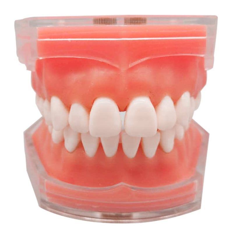 Standard Model with Removable Teeth  Study Teach Teeth Model