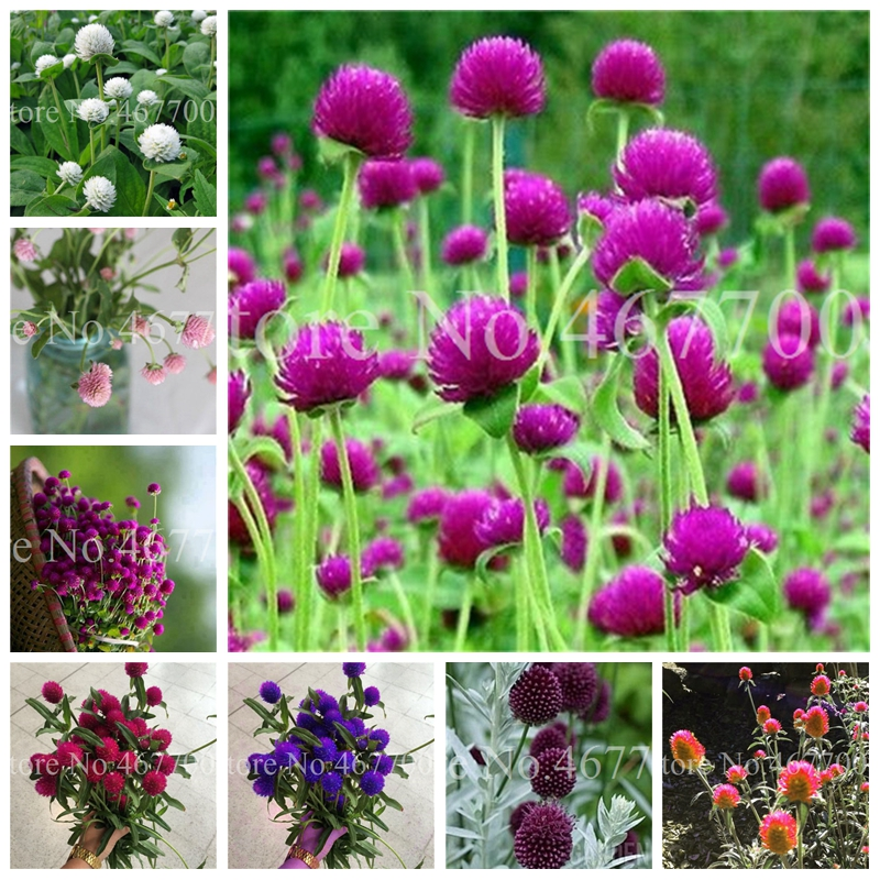 100 Pcs Mix Gomphrenae Globosa Bonsai Flower Globe Amaranth,Garden Outdoor Flower Garden Pots, Planting Is Simple, Easy To Grow