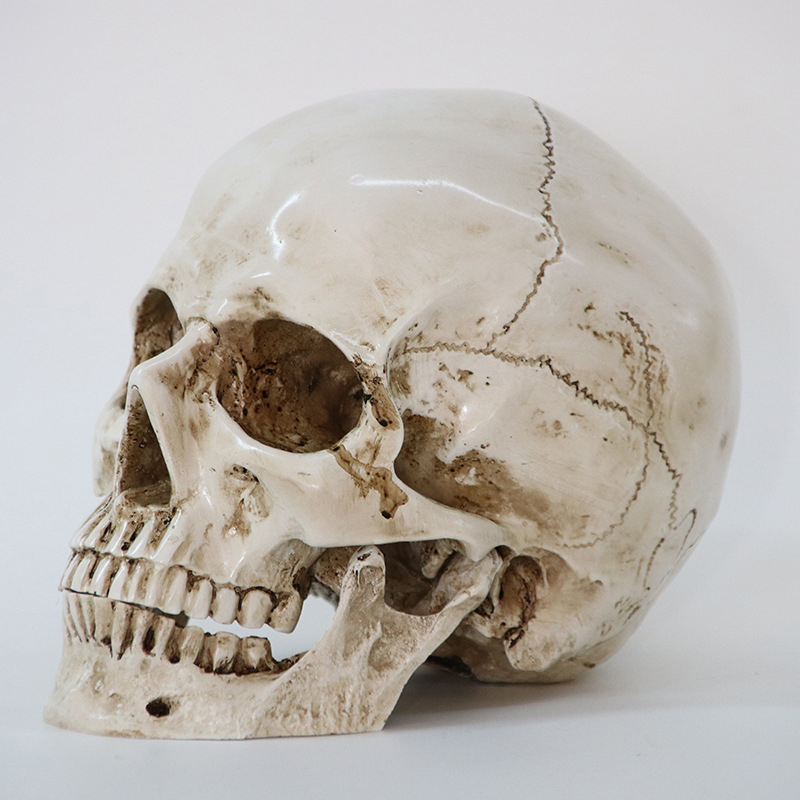 Human Skull Replica Resin Model Medical Art Teach Haunted House Halloween Prop