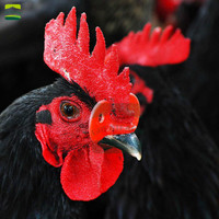 500 sets Medium Chicken Farm Pheasant Chicken Goggles Cock Glasses Laying Hens Pheasant Anti pecking Glasses Beak Clasps